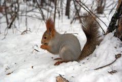 Eekhoorn bij de sneeuw Stock Foto