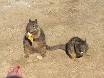 Eekhoorn Cuteness stock foto