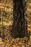 Eekhoorn in de herfst Stock Foto