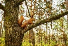 Eekhoorn in de herfstbos Stock Foto's