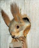Eekhoorn in de holte Stock Afbeelding