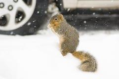 Eekhoorn in de sneeuw stock foto