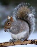 Eekhoorn in de winter Stock Fotografie