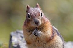 Eekhoorn dichte omhooggaand, Banff Canada royalty-vrije stock fotografie