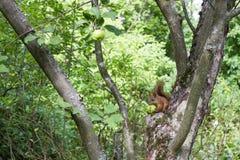 Eekhoorn die appel eten Royalty-vrije Stock Afbeelding