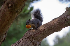Eekhoorn die appel eten Royalty-vrije Stock Afbeeldingen