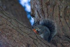 Eekhoorn die appel eten Stock Afbeeldingen