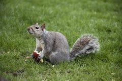 Eekhoorn die appel in park eten Stock Afbeelding