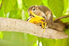 Eekhoorn die banaan eten Stock Foto