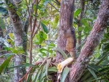 Eekhoorn die banaan in Santa Helena, Colombia eten royalty-vrije stock fotografie