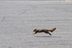 Eekhoorn die in beweging - in een sprong van de grond lopen en wordt gevangen stock afbeeldingen
