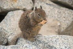 Eekhoorn die Brood eten Stock Foto