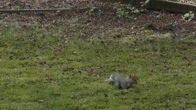 Eekhoorn die door gras zoeken die voedsel zoeken stock footage