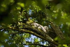 Eekhoorn die door zeer Groene Boom wordt omringd royalty-vrije stock fotografie