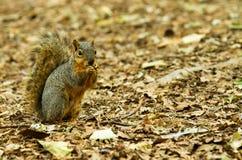 Eekhoorn die een chomp van te eten iets nemen Stock Fotografie