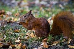 Eekhoorn die een eikel eet Stock Afbeelding