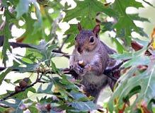 Eekhoorn die een eikel eet Stock Fotografie