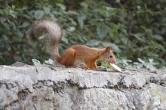 Eekhoorn die een koekje eten Stock Foto's