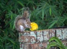 Eekhoorn die een Mango eten Royalty-vrije Stock Afbeelding