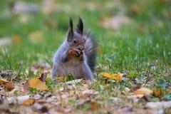 Eekhoorn die een noot eet Stock Fotografie