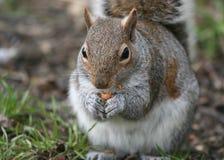 Eekhoorn die een noot eet Stock Foto