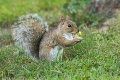 Eekhoorn die een noot eet Stock Afbeeldingen