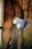 Eekhoorn die een noot houdt terwijl status op een post Stock Afbeelding