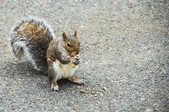 Eekhoorn die een pinda in het park in Boston, de V.S. eten royalty-vrije stock fotografie