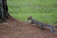 Eekhoorn die een zijn voedsel dragen Royalty-vrije Stock Foto's