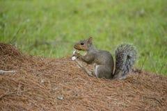 Eekhoorn die een zijn voedsel dragen Royalty-vrije Stock Afbeelding