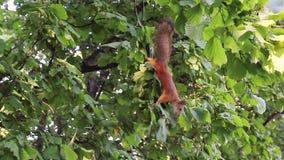Eekhoorn die en dan noten zoeken eten stock footage