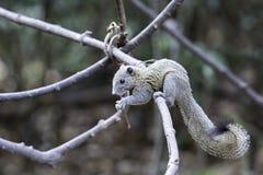Eekhoorn die fruit op aardwijnstok eten in wildernis Royalty-vrije Stock Afbeeldingen