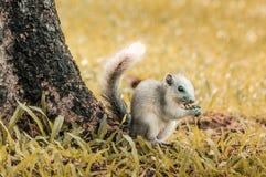 Eekhoorn die geel gras eten Stock Afbeelding