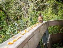 Eekhoorn die graan op veranda in Santa Helena, Colombia eten Royalty-vrije Stock Afbeelding