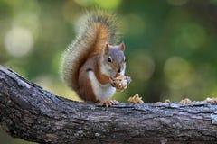 Eekhoorn die Granola eten stock foto's