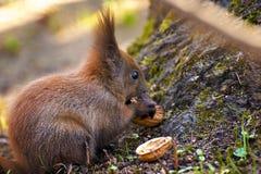 Eekhoorn die hazelnoot eten stock foto's