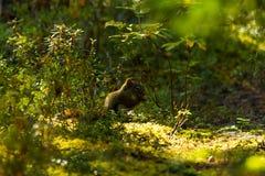 Eekhoorn die in het Gouden Ochtendlicht eten Royalty-vrije Stock Fotografie