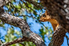 Eekhoorn die in Live Oak Tree rusten stock foto's