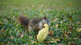 Eekhoorn die mango eet Stock Foto