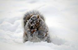 Eekhoorn die met sneeuw wordt behandeld die verzamelt voedsel eathing Royalty-vrije Stock Foto's