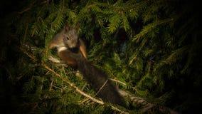 Eekhoorn die met zijn lang pronken staart Stock Foto