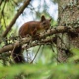 Eekhoorn die neer van een boom kijken Royalty-vrije Stock Afbeelding