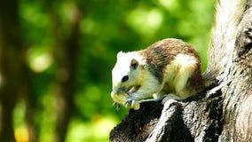 Eekhoorn die noot in aard eten, stock video