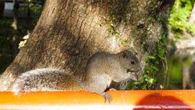Eekhoorn die noot eten Stock Foto's