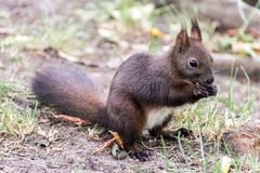 Eekhoorn die noot in het park eten stock fotografie