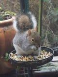 Eekhoorn die noten in de winter eten Royalty-vrije Stock Fotografie
