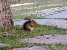Eekhoorn die noten ter plaatse eten Royalty-vrije Stock Fotografie
