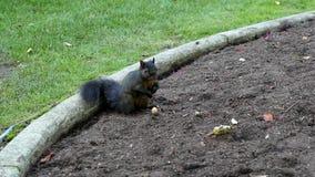 Eekhoorn die noten ter plaatse eten stock footage