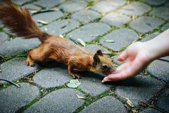 Eekhoorn die noten van vrouwenhand eten stock afbeeldingen