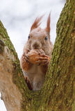 Eekhoorn die Okkernoot eet Royalty-vrije Stock Foto's